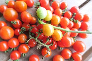 あかねちゃんのステラミニトマト